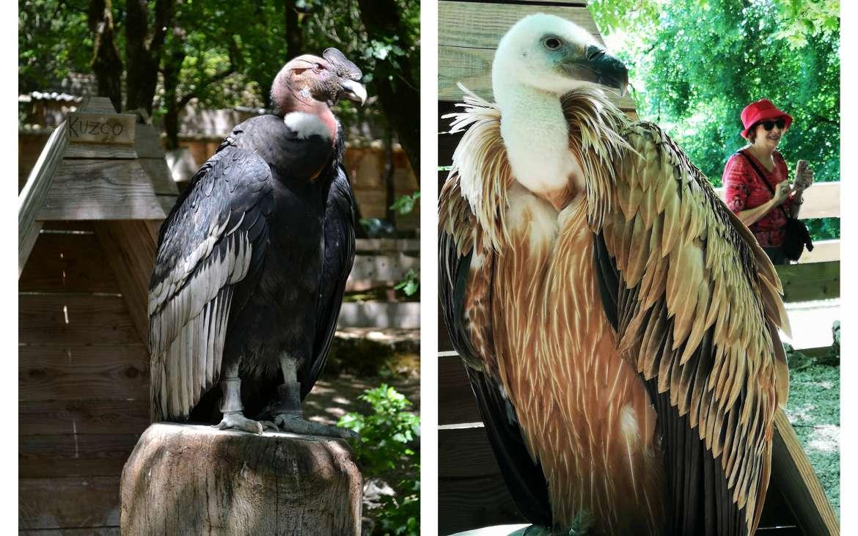 Condor et vautours, aigles et faucons...