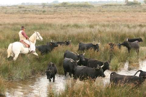 Herd of Camargue bulls